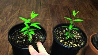 Growing Pomegranate Trees - 2 Month Update