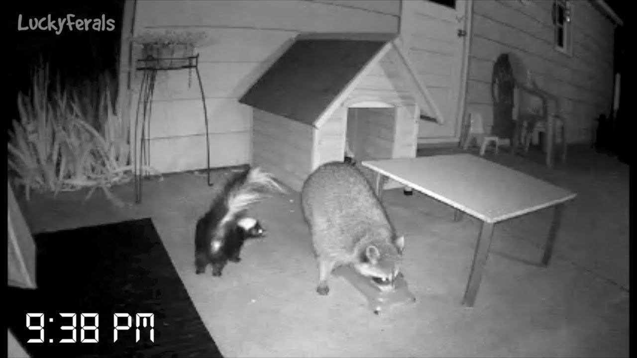 Caught On Camera The First Night With The New Raccoon
