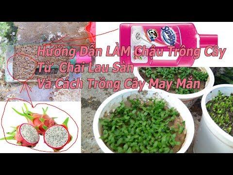 Hướng Dẫn Làm Chậu Trồng Cây Từ Chai Lau Sàn Và Cách Trồng Cây May Mắn - P2