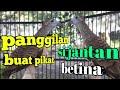 Perkutut Jantan Panggil Betina Ampuh Buat Pikat Juga  Mp3 - Mp4 Download