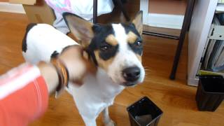 Maddie, Rat Terrier pup, training on scent work