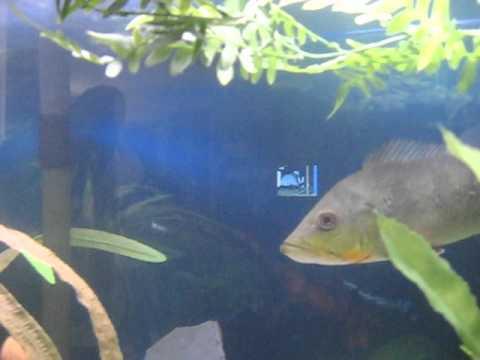 peacock bass | Tropical freshwater fish, Rainforest ... |Peacock Bass Aquarium