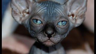 Кошки мира. Породы. Канал Murzikcat