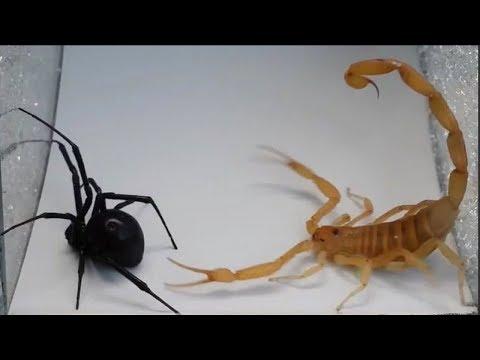 Версус! СКОРПИОН против паука, сколопендры, рака, шершня и даже ежа. На что способен скорпион!