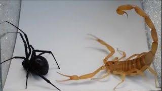 видео: Версус! СКОРПИОН против паука, сколопендры, рака, шершня и даже ежа. На что способен скорпион!