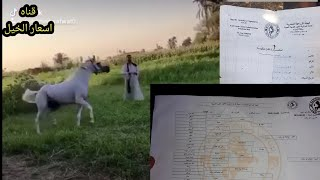 حصان عربى معاه شهادته مواليد......٢٠١٥