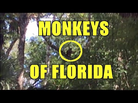Wild Monkeys of the Ocala National Forest