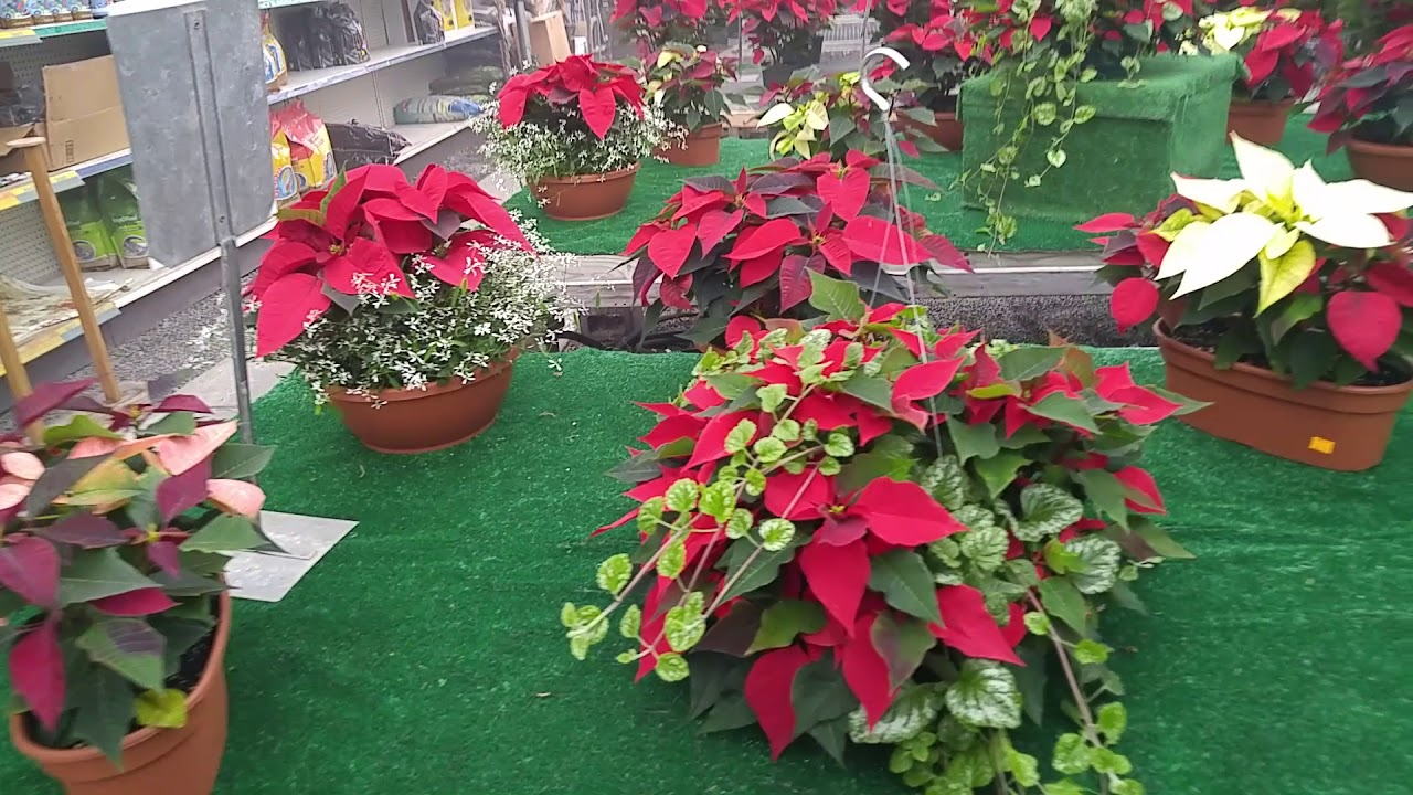 Speaking of poinsettias