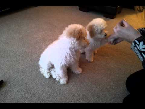Poochon puppies going through their training