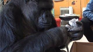 Koko the Gorilla Adopts Kittens for Her 44th Birthday