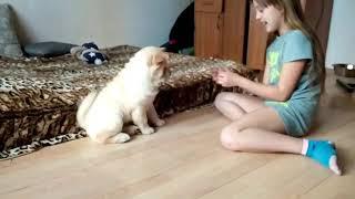 Тренируются собаку , по имени Рокси а порода чау/чау. Маленькую