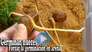 Force the germination of walnuts - germination in sand