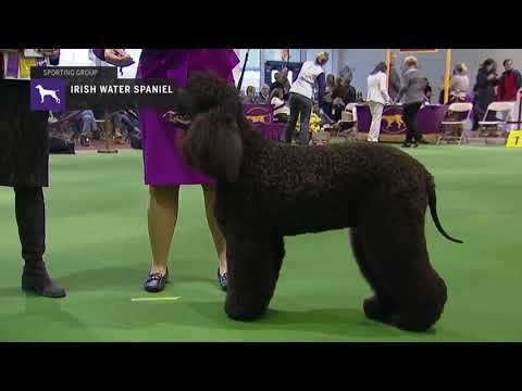 Spaniels (Irish Water) | Breed Judging 2019