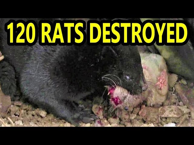 120 Rats DESTROYED By Mink and Dogs (NOT Facts and Logic)