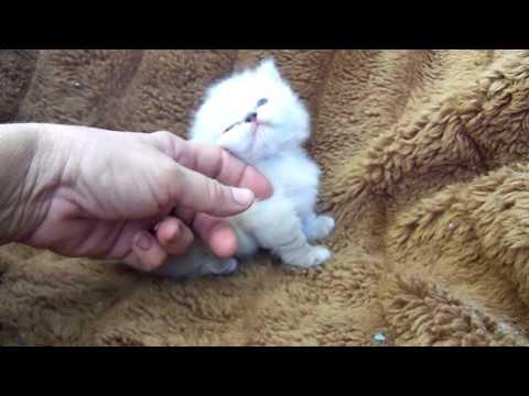 Nancy's kitten Munchkin Manx Himalayan Snowshoe