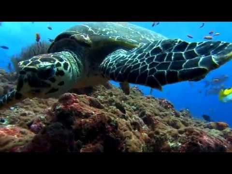 HD Sea Turtle Swimming On Reef