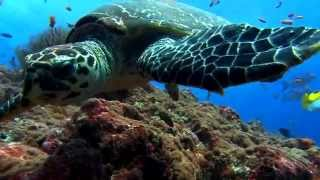 HD Sea Turtle swimming on reef
