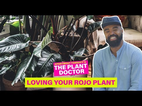 Loving Your Rojo Congo Philodendron | The Plant Doctor | Apartment Therapy