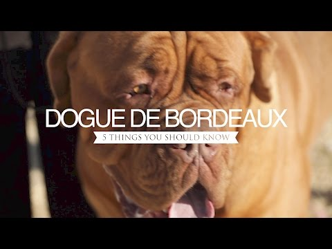 DOGUE DE BORDEAUX FIVE THINGS YOU SHOULD KNOW