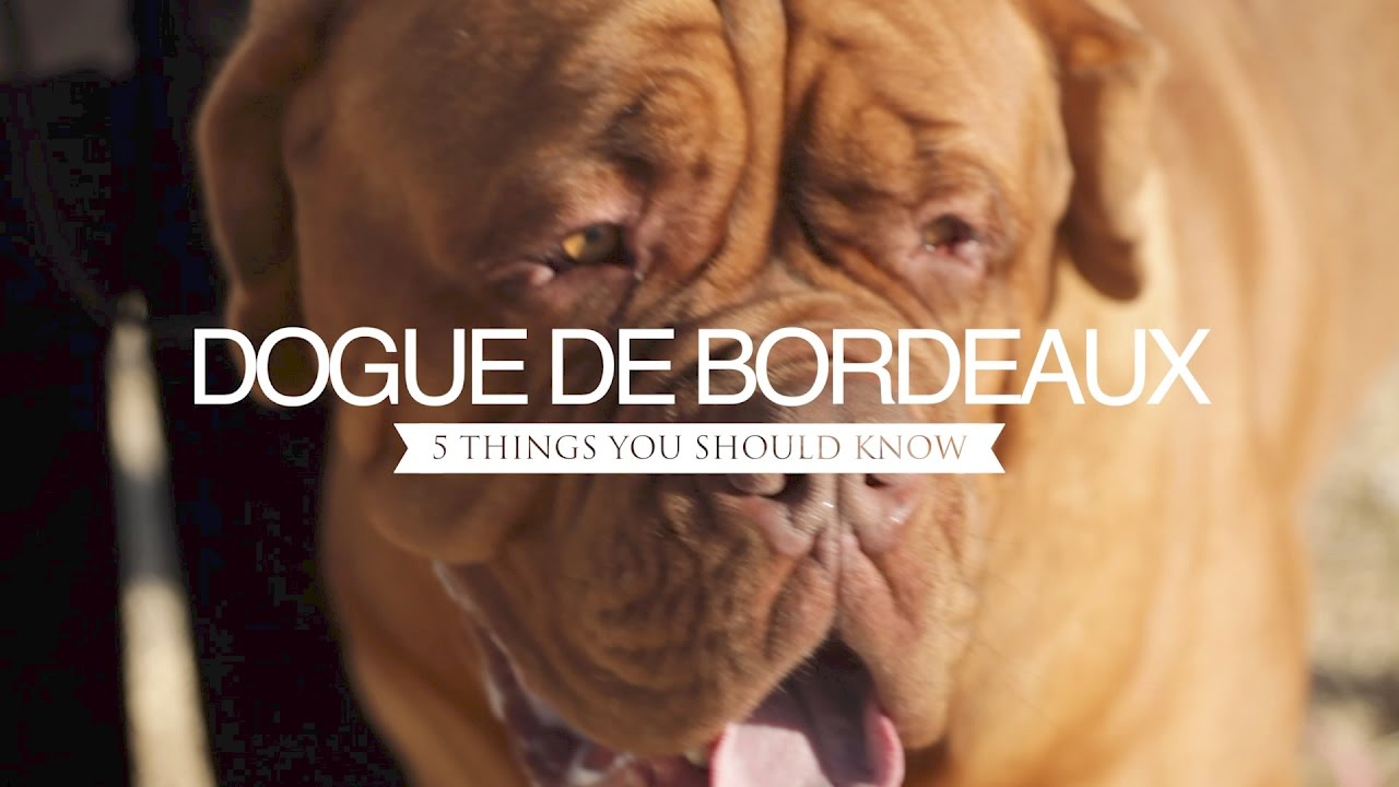 Dogue De Bordeaux Five Things You Should Know Youtube