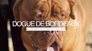 DOGUE DE BORDEAUX FIVE THINGS YOU SHOULD KNOW