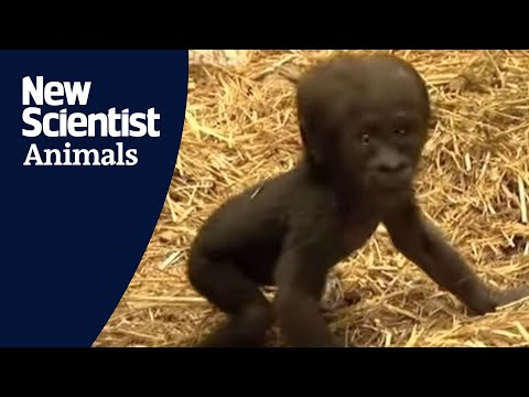 Baby gorilla takes first steps