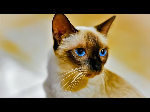 How to breed your siamese cat-1
