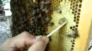 品嚐蜂巢蜜  飛來蜜養蜂場