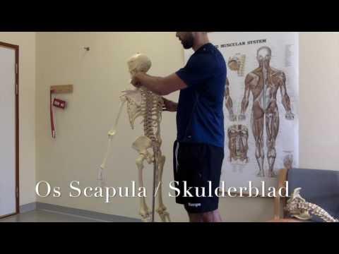 Skelettet   Grundläggande Anatomi