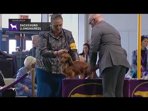 Dachshunds (Longhaired) | Breed Judging 2019