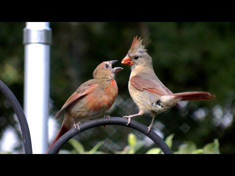 HD Northern cardinal feeding baby bird FYV 1080 HD
