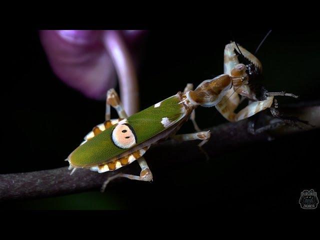 Xenesthis immanis i Creobroter gemmatus WYLINIAŁY!!