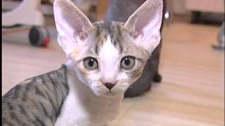 Девон Рексы - это кошки-инопланетяне