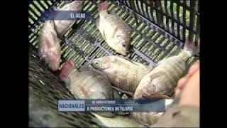 En San Pablo Tacachico se producen al día 300 quintales de Tilapia
