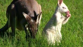 Albino Pretty-face Wallaby - Rare footage
