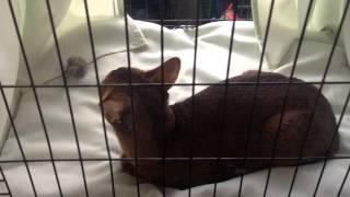 Абиссинская порода кошек(, 2015-12-10T05:00:00.000Z)