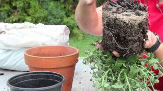 How to Repot Mums : Gardening With Mums