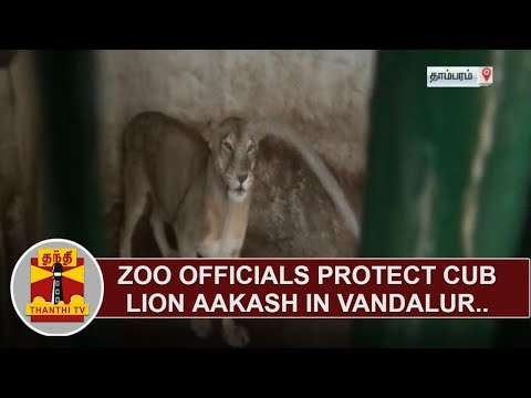 Zoo officials protect cub lion Aakash in Vandalur | Thanthi TV