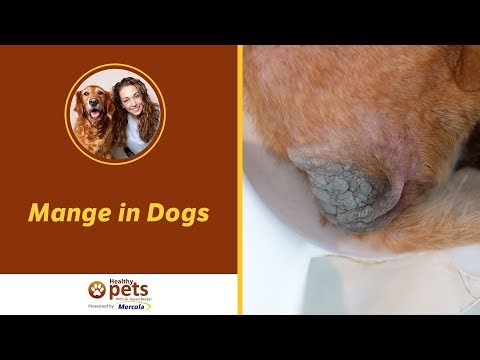 Mange in Dogs - Symptoms and Treatment