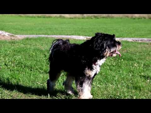 Tibetan Terrier in heat