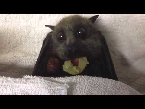 Sully's Story. Rescue of a flying-fox