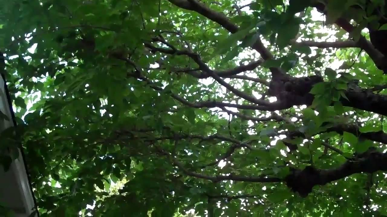 Mature mulberry tree, watch mom porn