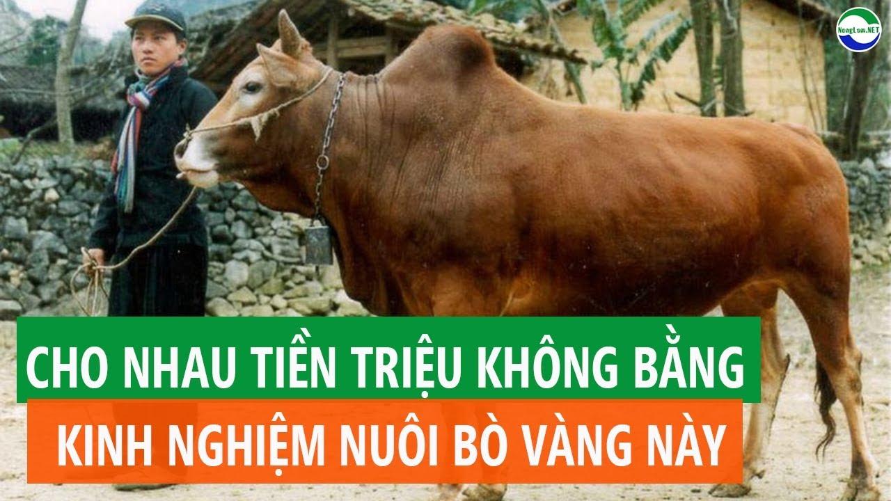 Kinh Nghiệm Nuôi BÒ VÀNG VÙNG CAO | MẸO TĂNG NĂNG SUẤT BÒ SINH SẢN