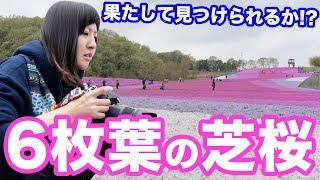 【写真撮影】NikonD750を持って芝桜を撮りに出かけたら6枚葉の芝桜っていうのがごく稀にあるらしいという話を聞いたのだけれども【ともよ。】