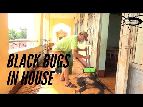 black-bugs---black-bugs-in-house