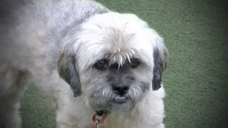 Molly The Shih Tzu Mix Is Available For Adoption!