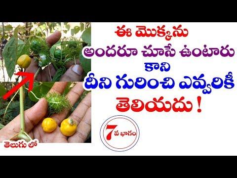 Passiflora foetida | Tella jumiki uses in telugu | Jhumka lata | Telugu World Visite
