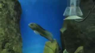 Рыбы ласточки и Морские собачки