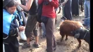 Bargain hunt for pig in Ecuador