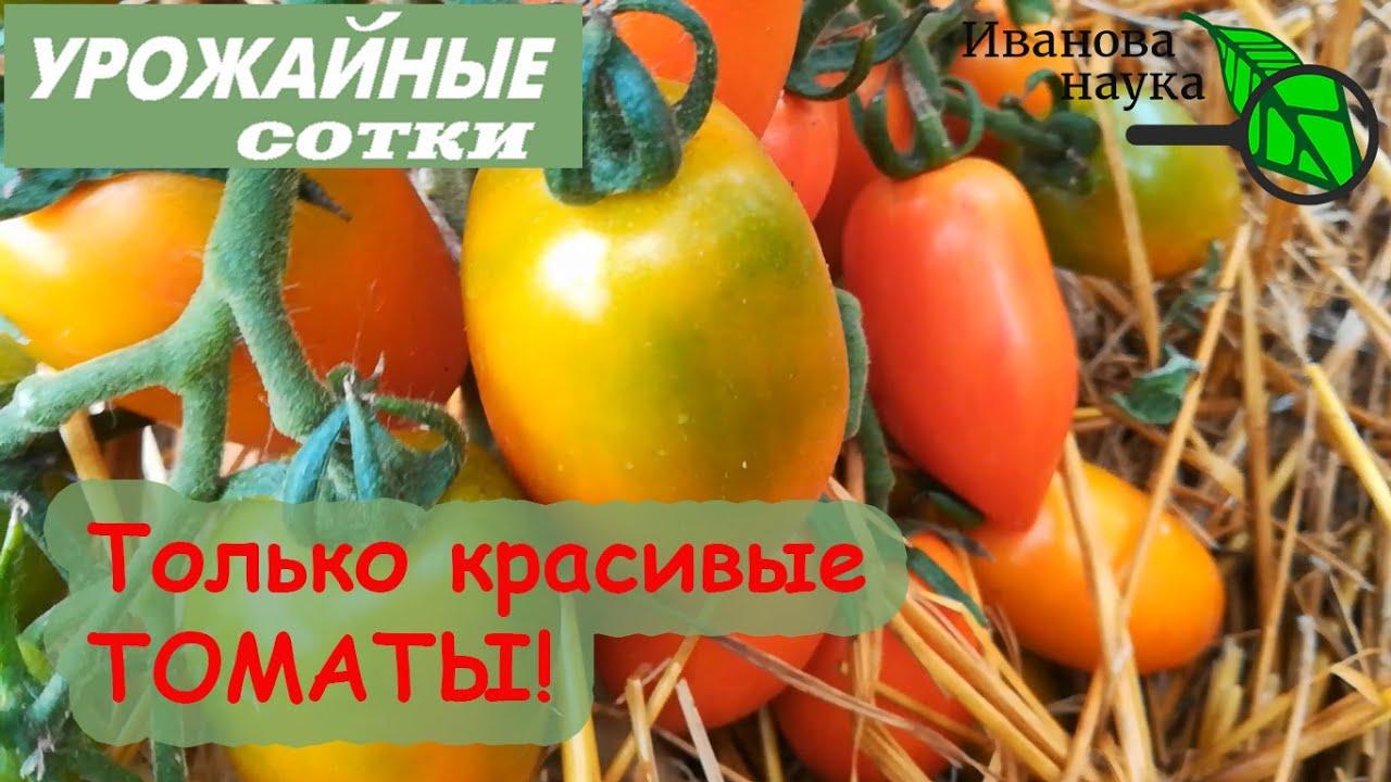 ВАШИ ТОМАТЫ БУДУТ ОЧЕНЬ КРАСИВЫЕ! Как усилить окраску, улучшить вкус и увеличить урожай томатов.